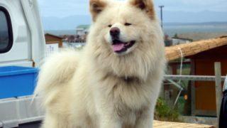 【わさおが死んだ】ブサカワ犬の現在の飼い主や場所はどこだった?年齢は13歳